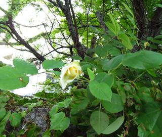 2016.5.4白いバラ.jpg