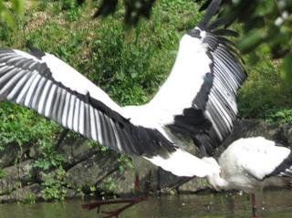 コウノトリの翅.jpg